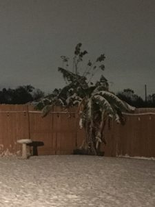 Snow on Traci's Banana Tree in Sugar Land, TX